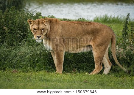 A full length portrait of a lioness standing and staring menacing at the camera