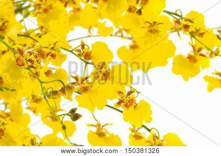 Yellow Orchid Flower i