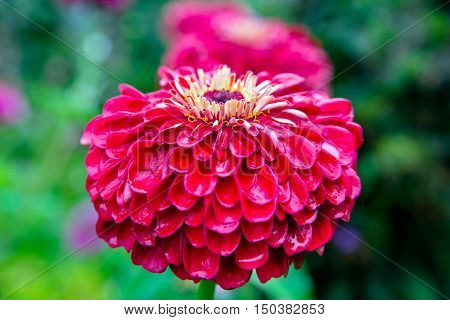 red zinnia on a green background closeup