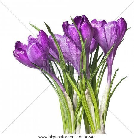 crocus bouquet isolated on white