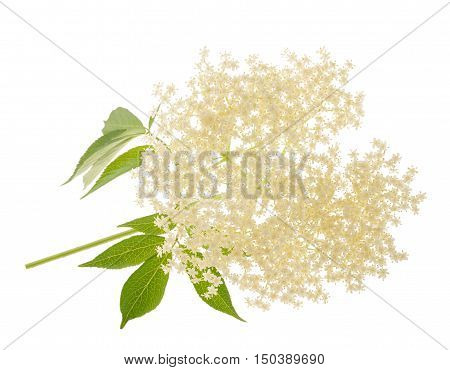 Elderberry flower isolated on a white background