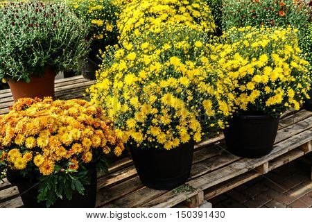 Fall potted mums on a greenhouse bench