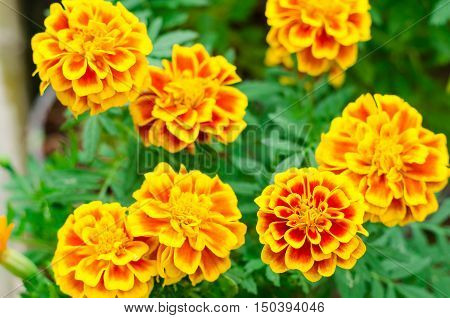 French marigolds flower in the garden,French marigolds flower