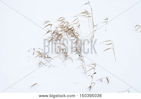 small reed stalks in deep fresh snow