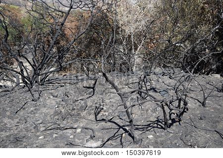 Charcoaled landscape with burnt chaparral plants caused from the Blue Cut Fire taken in Cajon, CA
