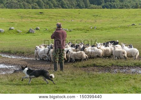 SCOTLAND--AUGUST 15, 2016--A sheep farmer gives verbal commands to his dogs in order to move his sheep to another field.