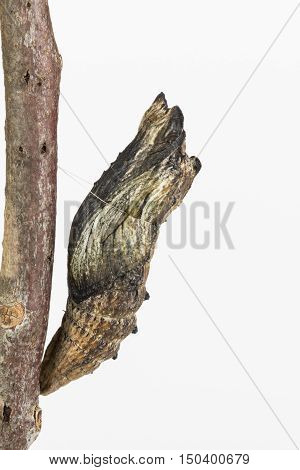 Black swallowtail butterfly pupae well camouflaged on a brown stick with white background.