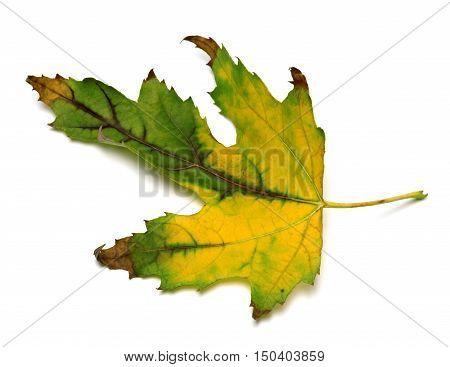 Autumn Multicolor Maple Leaf