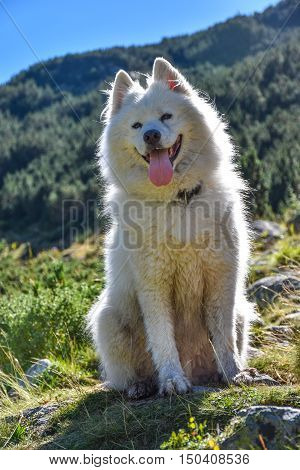 A furry white dog sitting contre-jour in the mountains