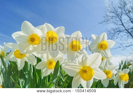 Beautiful White Narcissus with blue sky background