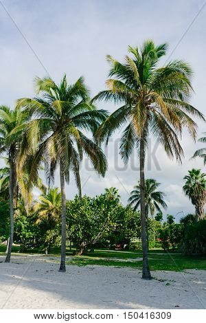 Palm trees and their leaves in the resort town of Varadero, Cuba