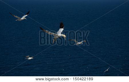 Northern Gannets on Bonaventure Island near Perce, Gaspesie, Canada. Bonaventure Island is home of the largest colonies of northern gannets in north America.