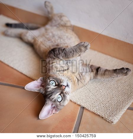 Adorable Devon Rex cat is laying down on a scratching board after having activity, after using scratching mat. Cat feels positive scratching behaviors while grooming claws