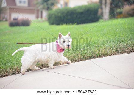 White dog walking on a driveway in suburban neighborhood
