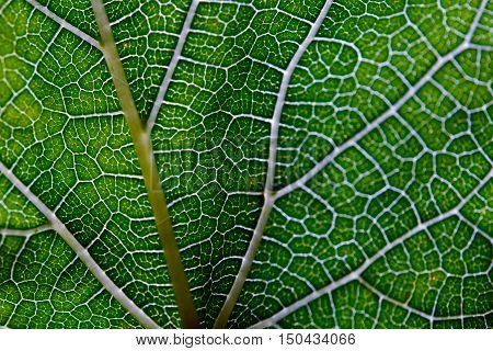 Leaf abstract background texture with vein for graphic usage