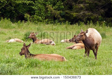 Several Roosevelt elk relaxing in a meadow