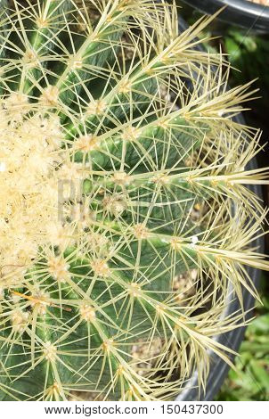 Close up cactus texture detail  with long thorns.