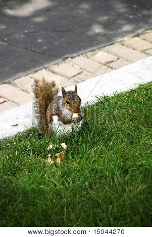 Hungry Squirrel Eating Nut