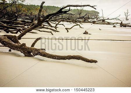 Drift Wood On Hunting Island South Carolina