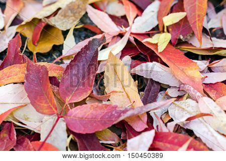 Red Fallen Foliage Of Beech Trees On Ground