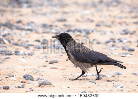Carrion Crow On The Beach In Helgoland