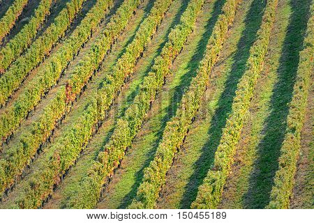 Sunset on italian hill region called langhe with ripe grapes