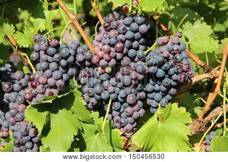 Red Grapes in Vineyard in Baden-Wurttemberg. Germany