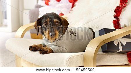 Cute dog lying in armchair having present, wearing jumper.