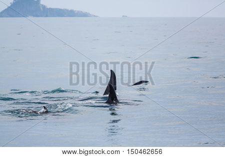 Orca (Killer Whale) in Alaska