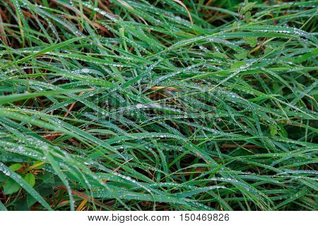 Fresh Green Grass With Drops Of Water, Close-up