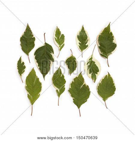 Creative arrangement of dogwood green leaves (cornus alba) on white background. Flat lay top view.