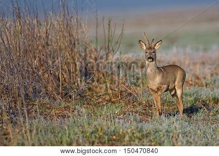 Buck deer in the wild in a frosty morning