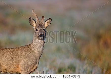 Buck deer in a frosty morning, a portrait