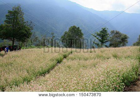 YEN BAI, VIETNAM, September 29, 2016 Triangle Mach flower field, highland Yen Bai, Vietnam