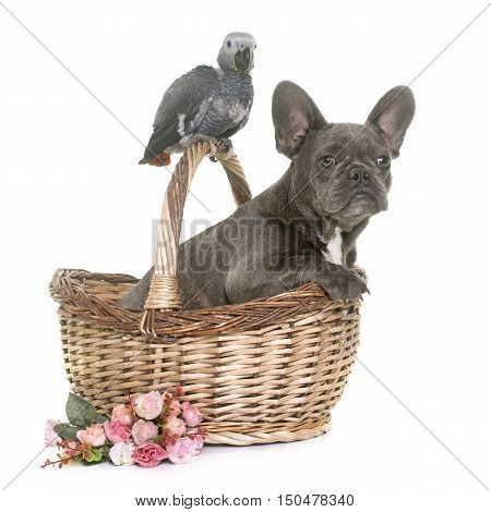 baby gray parrot and puppy french bulldog in front of white background