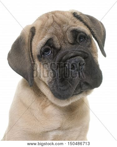 puppy bull mastiff in front of white background