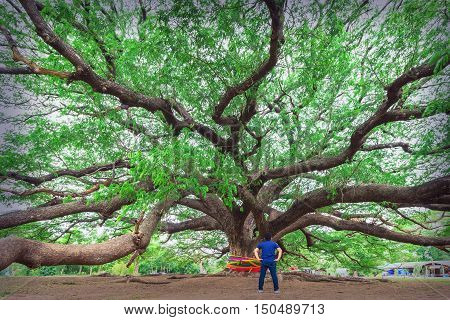 Giant Monky Pod Tree a man stands at the giant tree over 100 years old Unseen Thailand Kanchanaburi.
