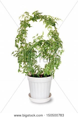 Jasmine multiflorum in plastic flower pot on a white background