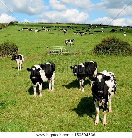 Herd of Holstein Friesians breed of dairy cows graze on a farmland in Dorset England