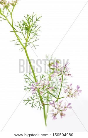 fresh green leaf cilantro coriander blossom close up isolated on white background