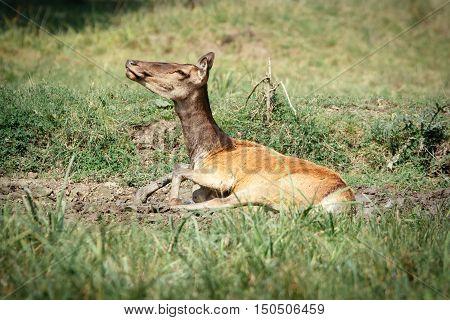Female roe deer in a green field