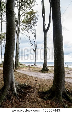 slender tall beech trees at the seaside vertical color filter selected focus