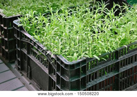 Seedlings of fresh green rosemary in a black plastic container on the market close up.