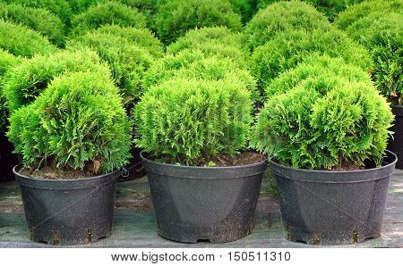 Rows of green seedlings of juniper with black spherical pots on the market close up.
