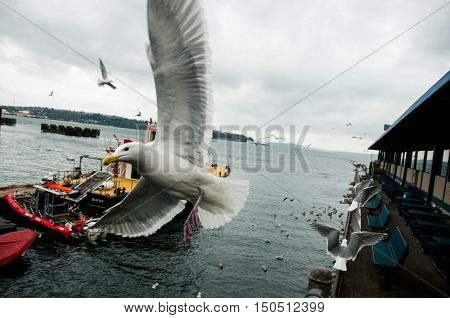Seagull fly by in the Wharf of Seattle
