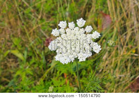 Wild carrot flower growing on the meadow