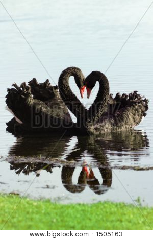 Black Swan Love Birds