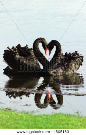 Black Swan Love Birds