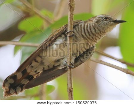 young female Little Bronze Cuckoo perching on a branch near Songkhla, Thailand