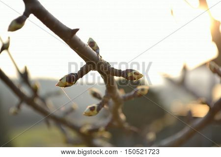 The buds of an apple tree in popping - close-up